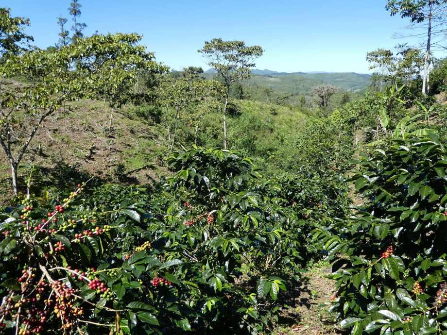 plantation-de-cafe-aux-lagos-de-montebello