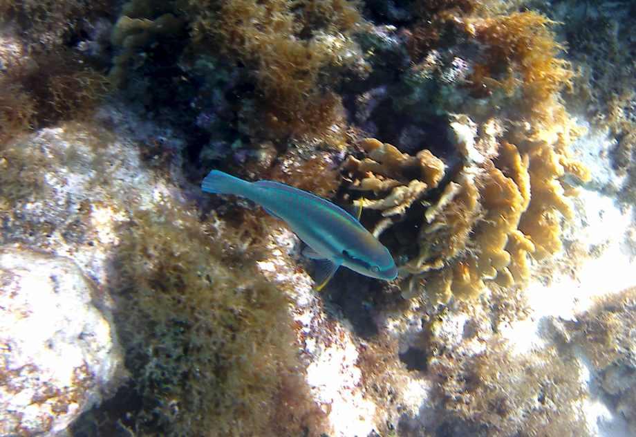 joli-poisson-bleu