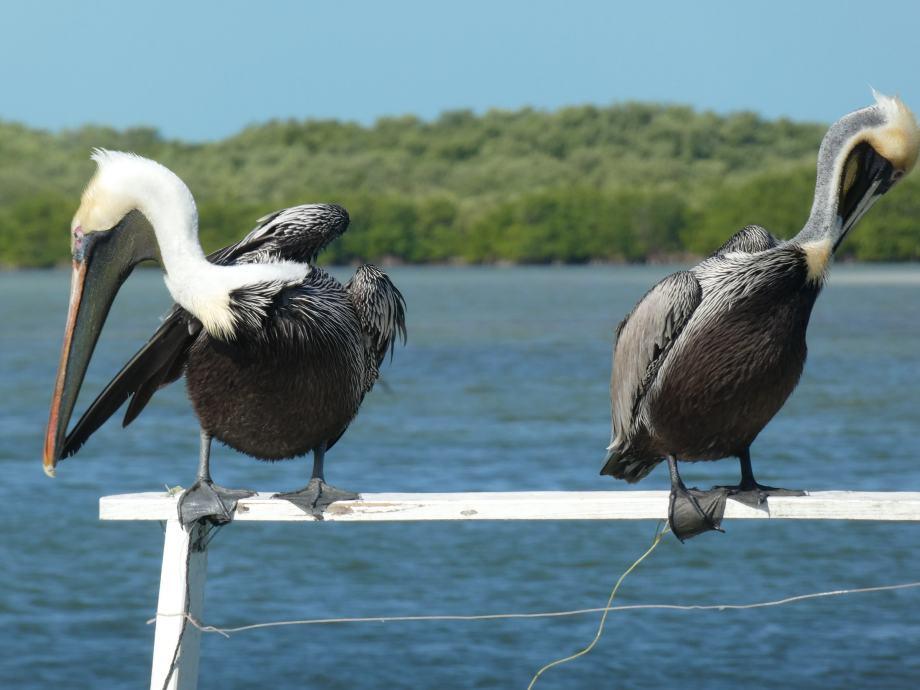 pelicans-rio-lagartos