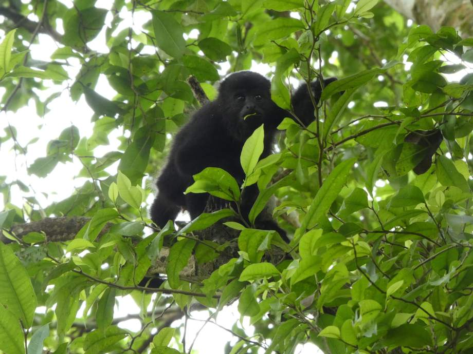singe-hurleur