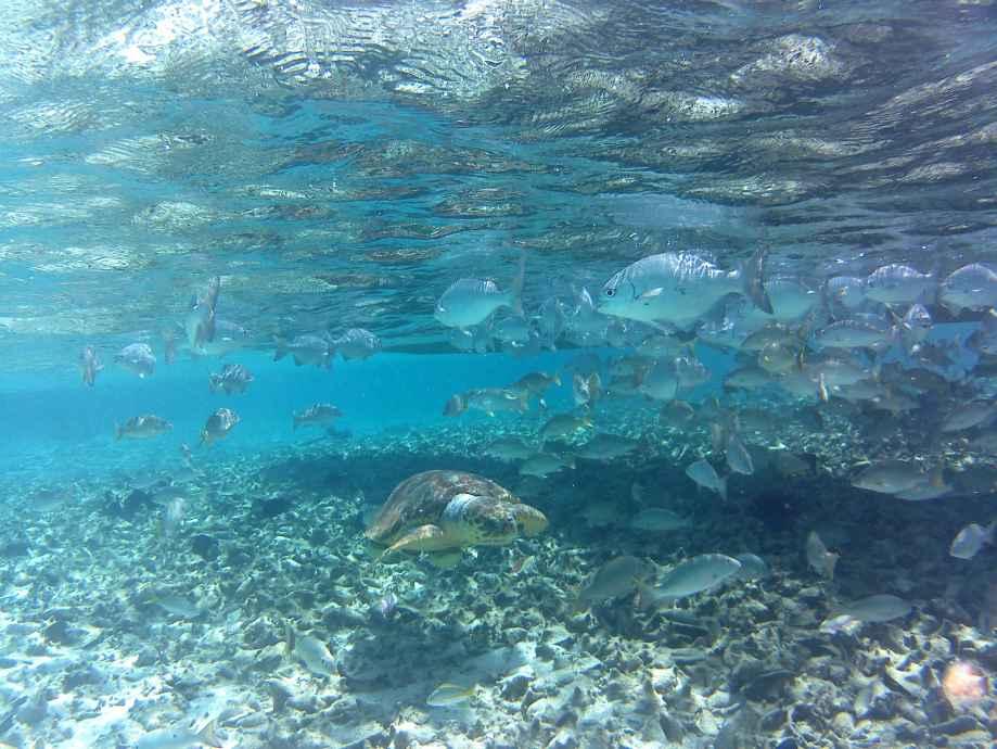 tortue-au-milieu-des-poissons