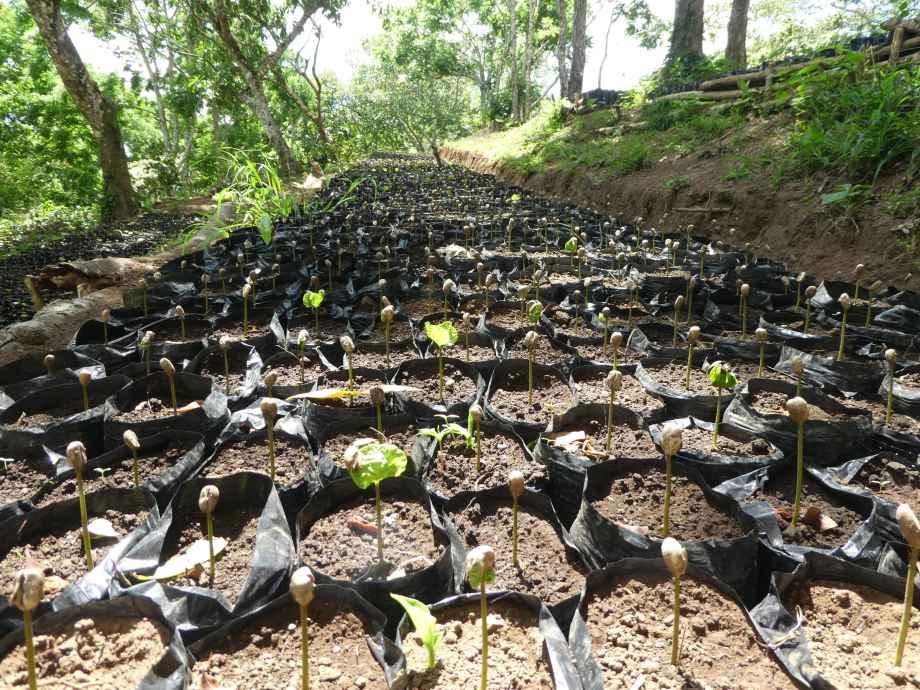 Plantation de café au Mombacho