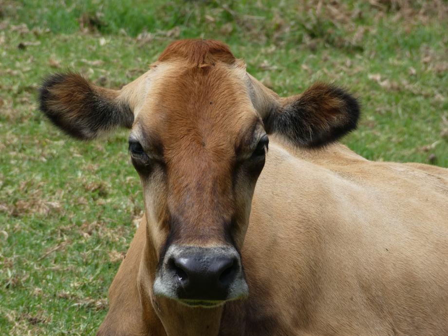 Vache à Acul