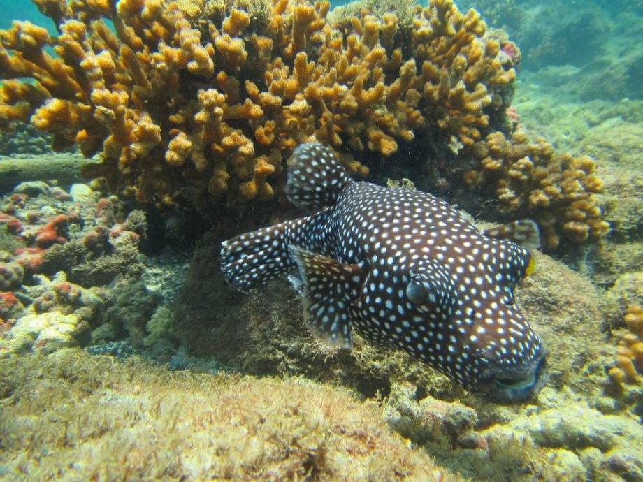 beau poisson à Coiba