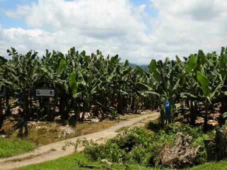 champ de banane