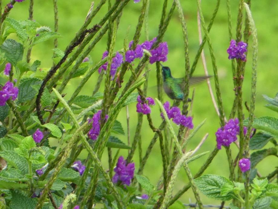 Colibri -