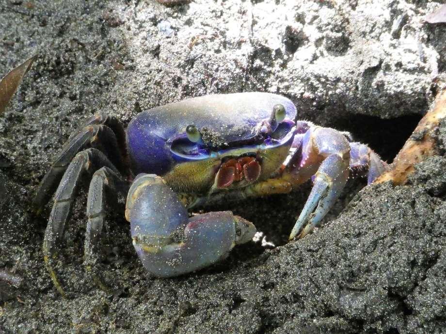 crabe (2)