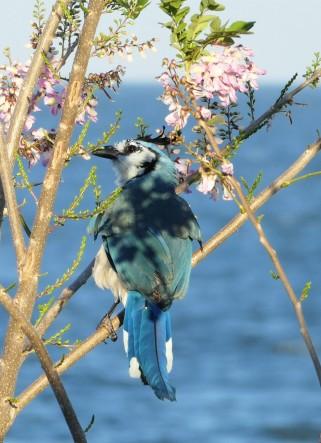 L'oiseau bleu d'Ometepe -