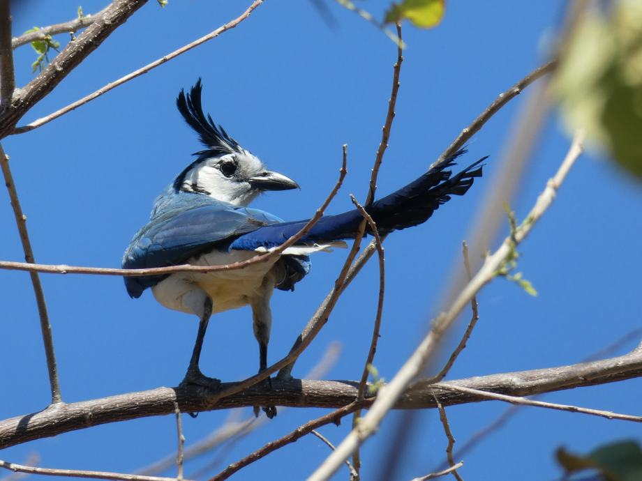 Oiseau bleu -