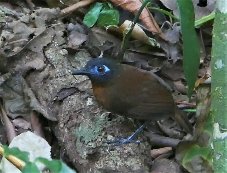 oiseau à l'oeil bleu