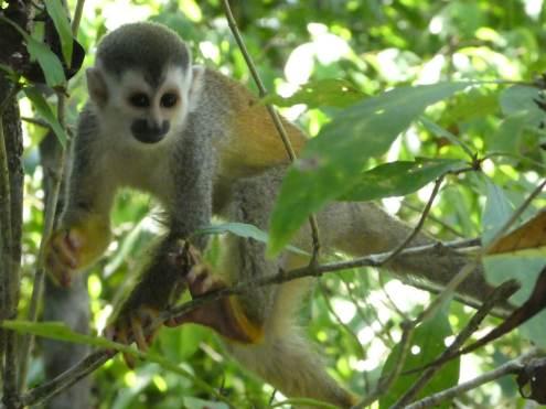 singe écureuil-