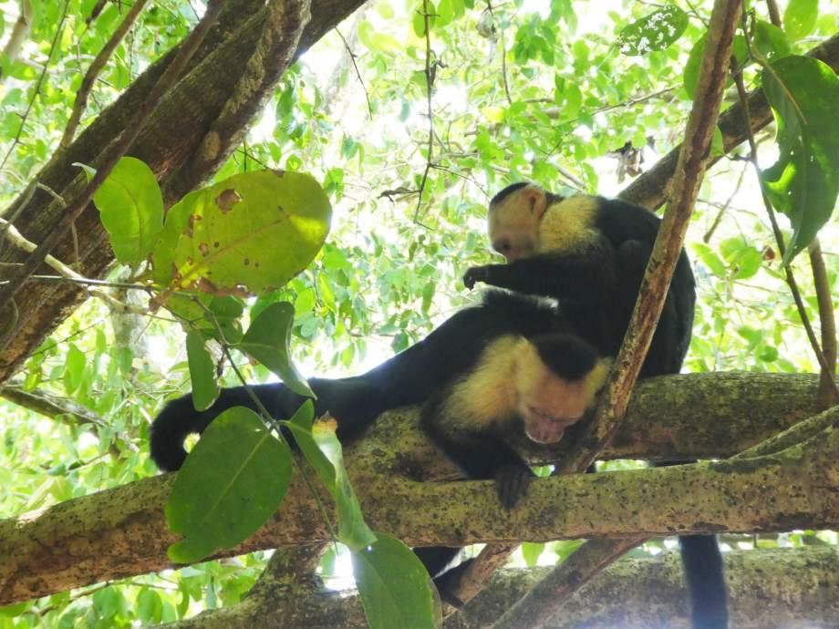 singe capucins