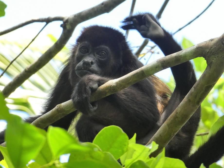 singe hurleur-