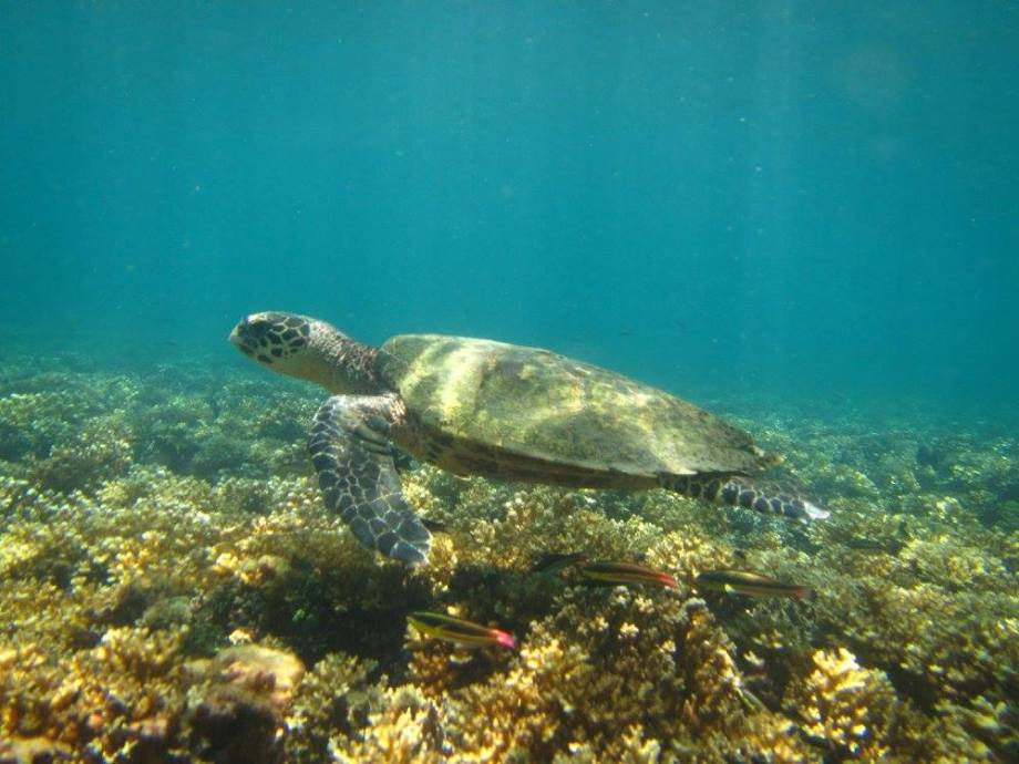 tortue à Coiba