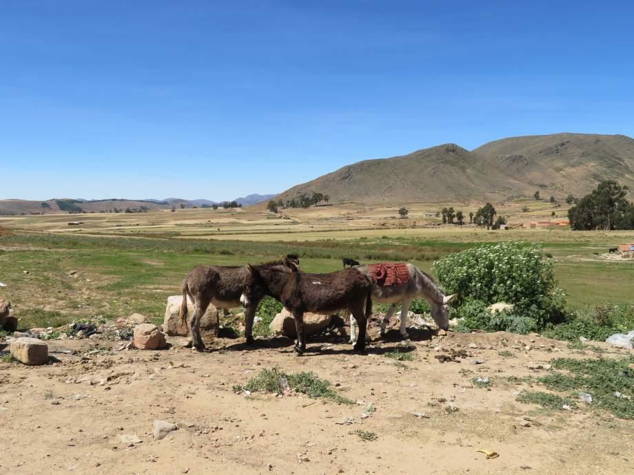 ânes au marché