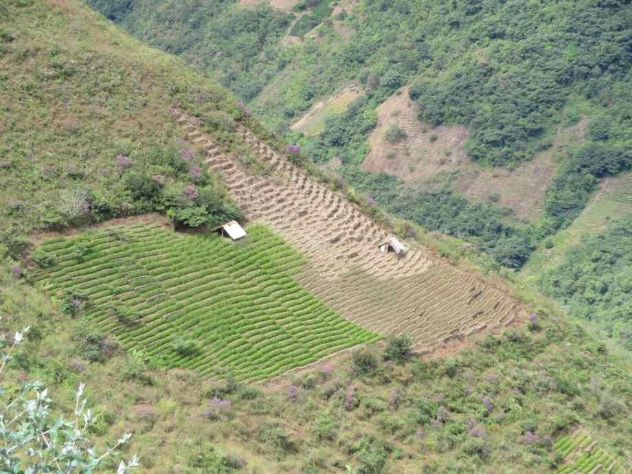 champs de coca