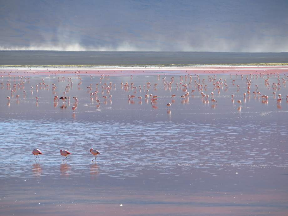 flamants à la laguna colorada --