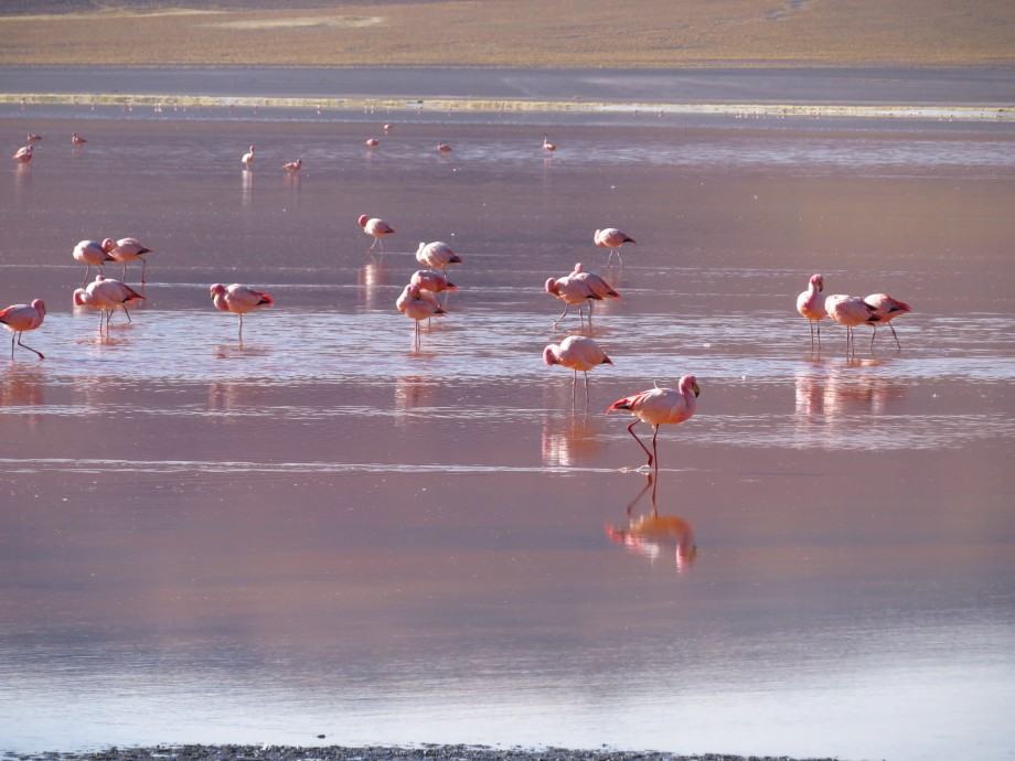 flamants à la laguna colorada -