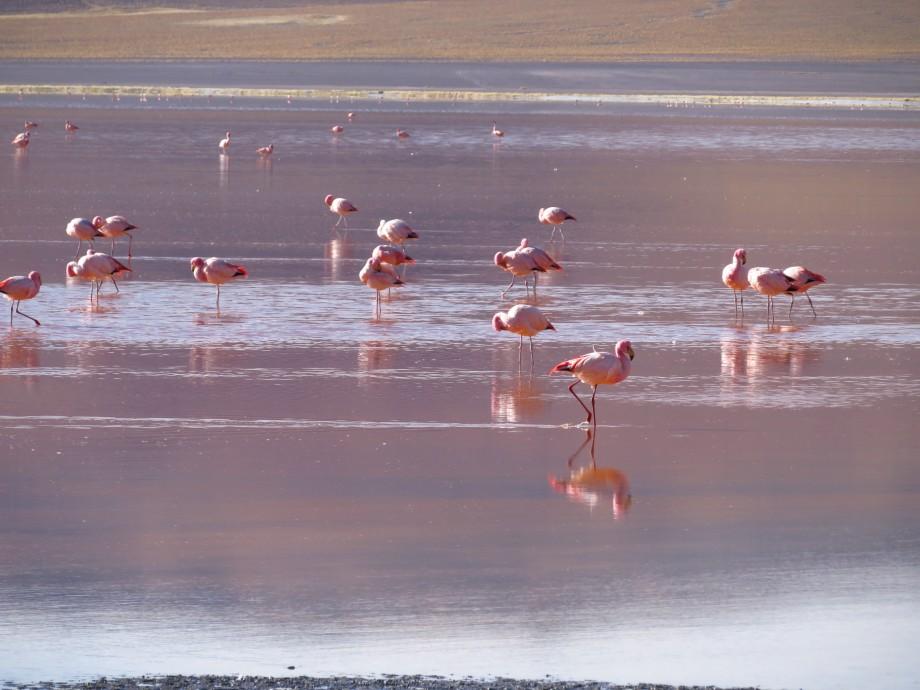 flamants à la laguna colorada -