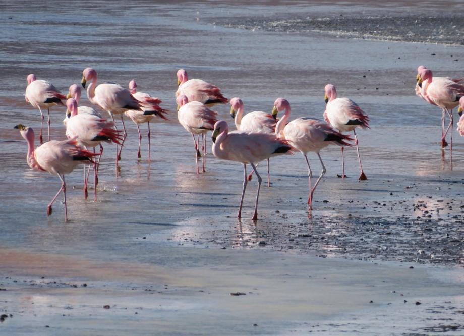 flamants à la laguna colorada