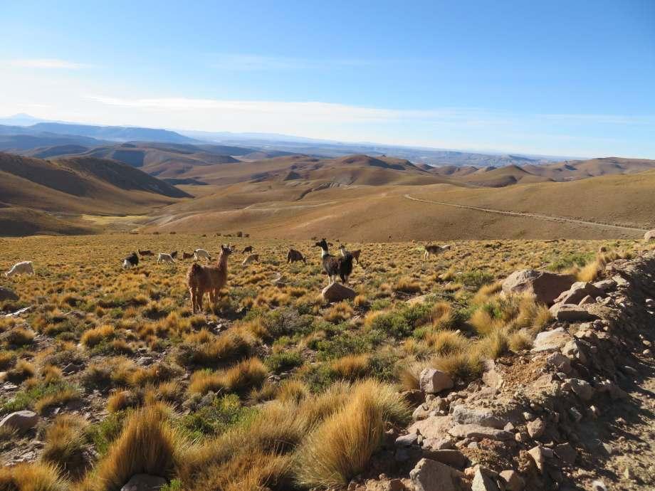 lamas dans le paysage