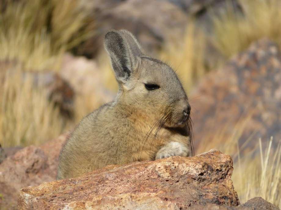 le lapincureuil