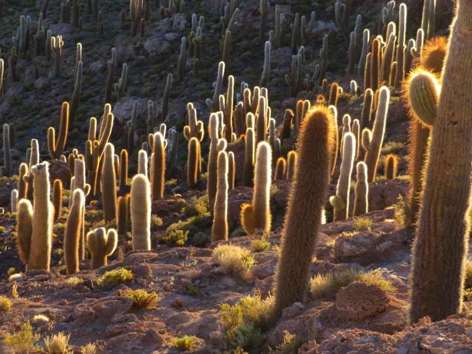 les jolis cactus