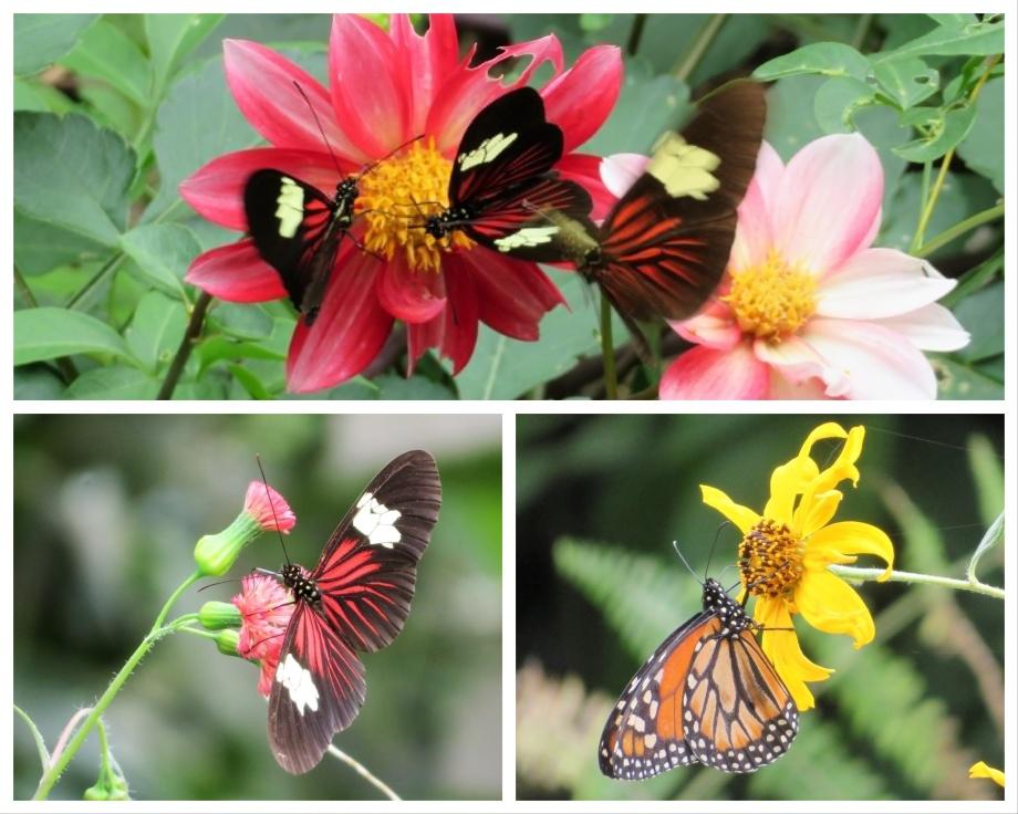 mariposas -