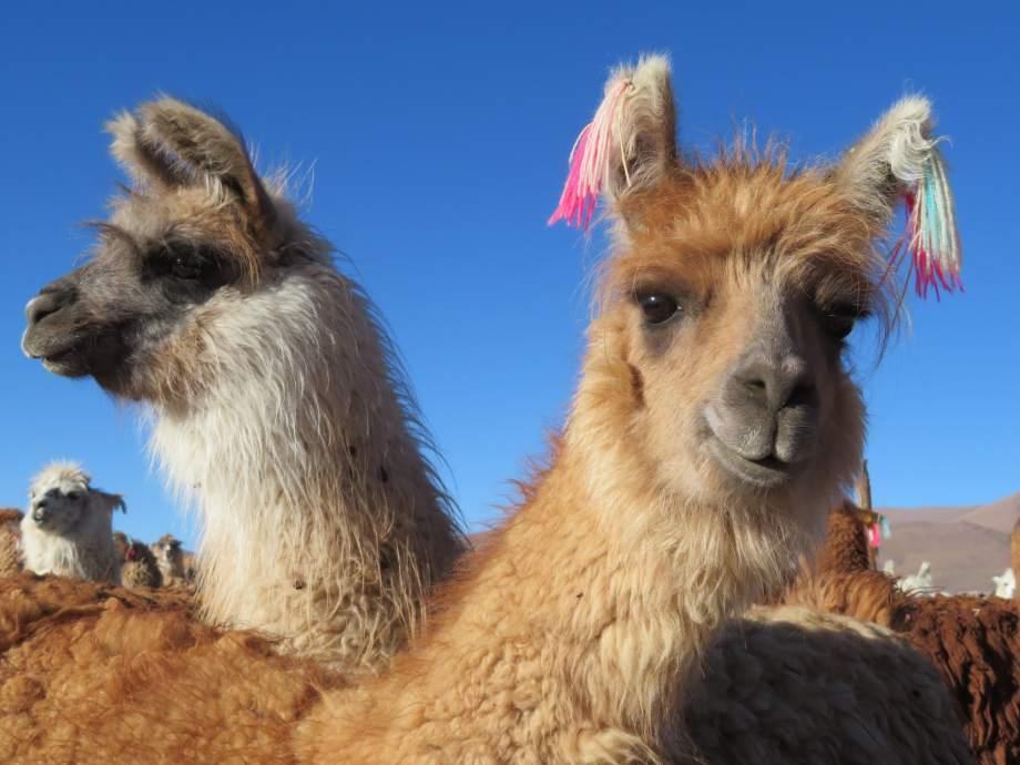 têtes de lamas - --