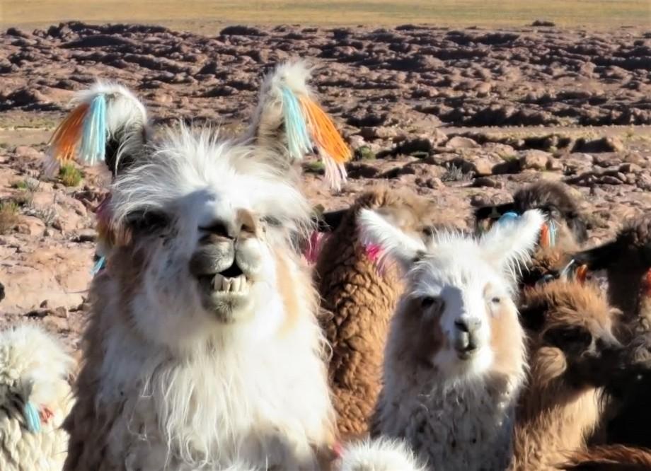 têtes de lamas