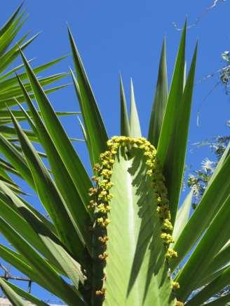 cactus fleuri