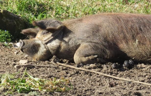 cochon pendant la sieste