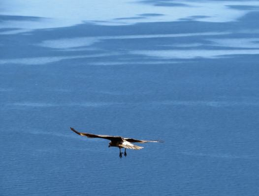vautour -