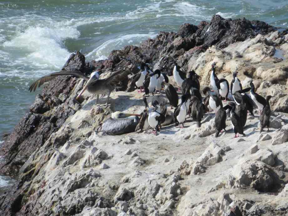 vie sauvage à Paracas (1)
