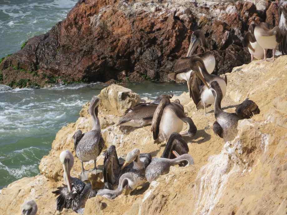vie sauvage à Paracas (3)