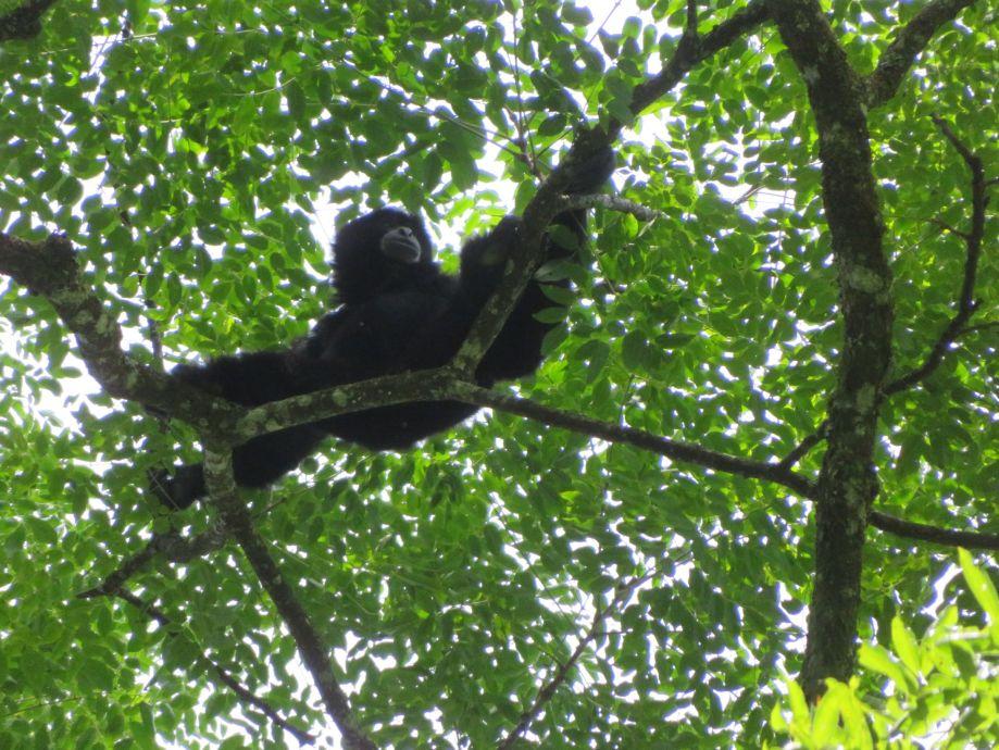 gibbon noir (1)