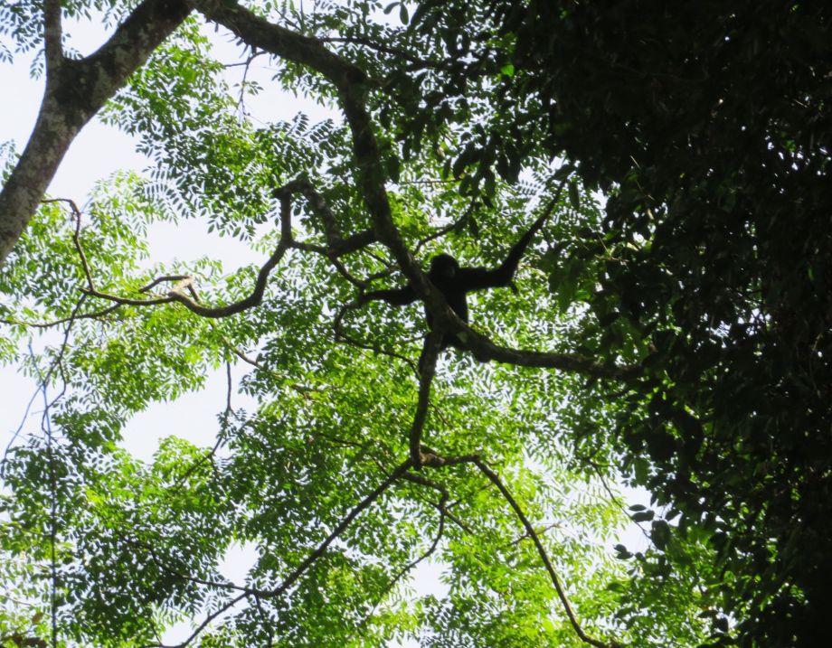 gibbon noir (2)
