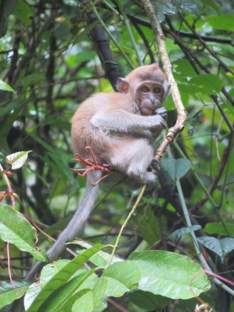 macaques (1)