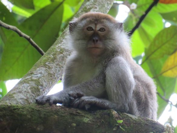 macaques (2)