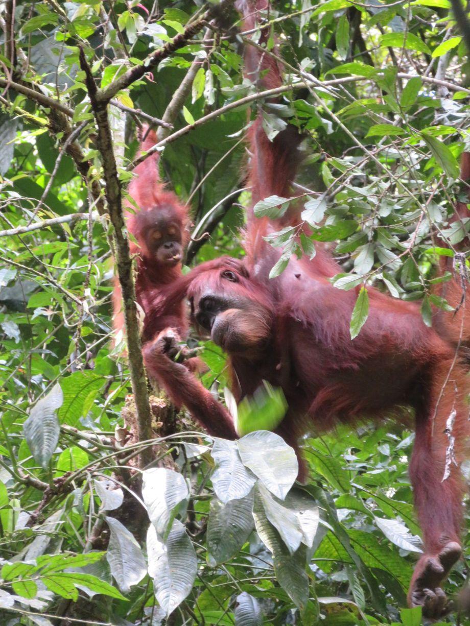 orang outang (3)