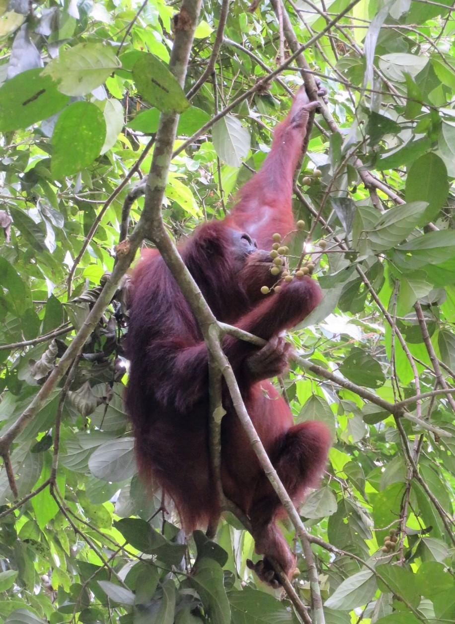 orang outang (4)