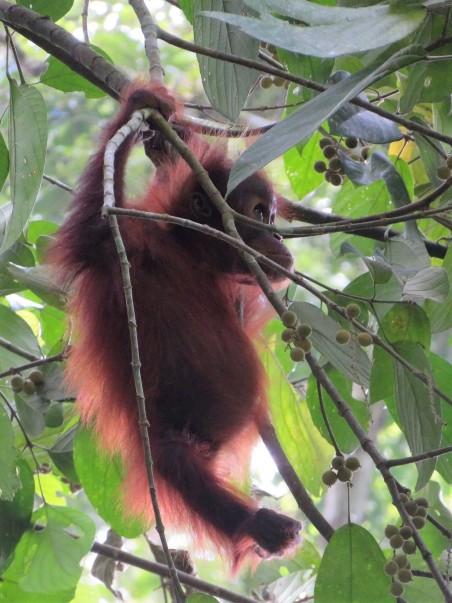 orang outang (5)