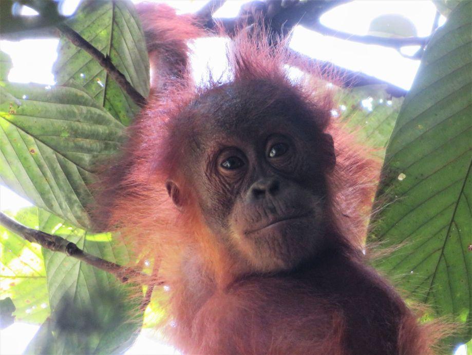 orang outang (6)