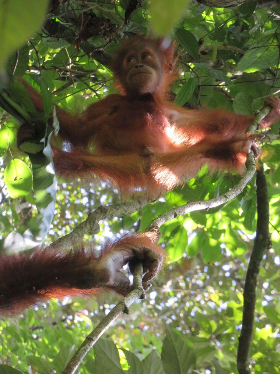 orang outang (7)
