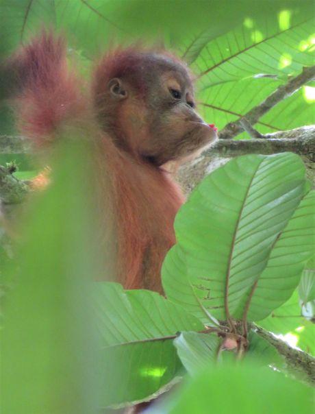 orang outang (8)