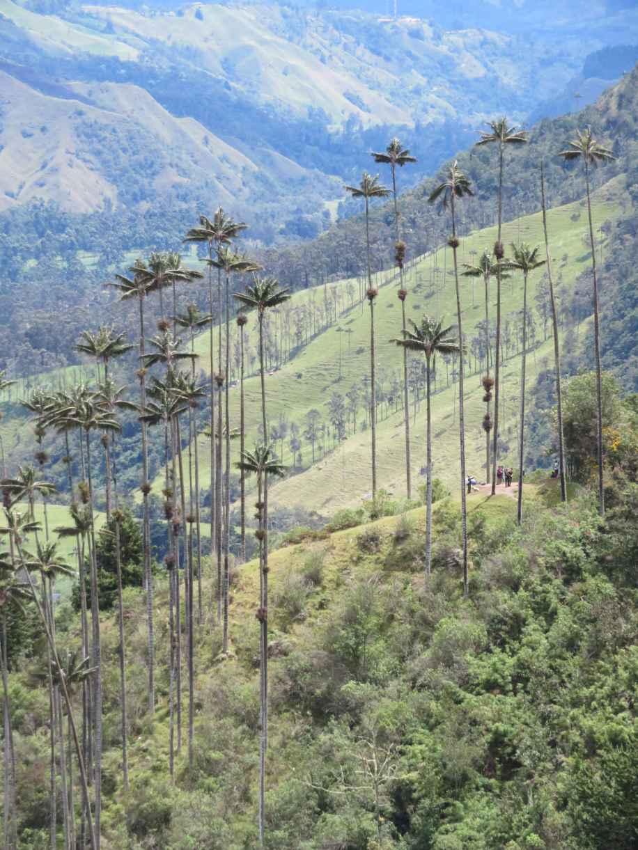 palmiers de Corora
