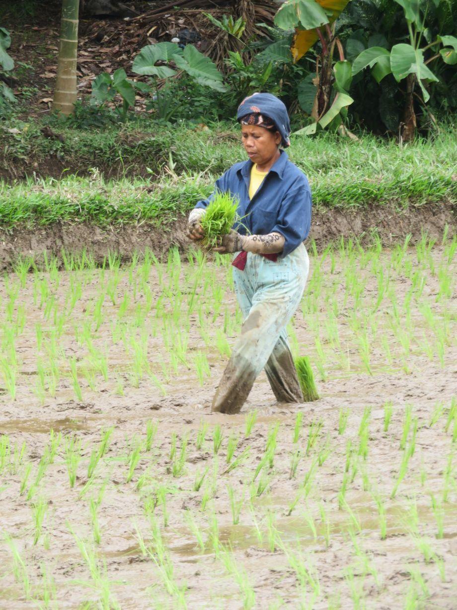 travail dans les rizières (1)