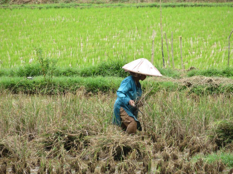 travail dans les rizières (2)