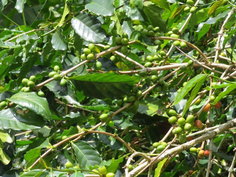 café Toraja
