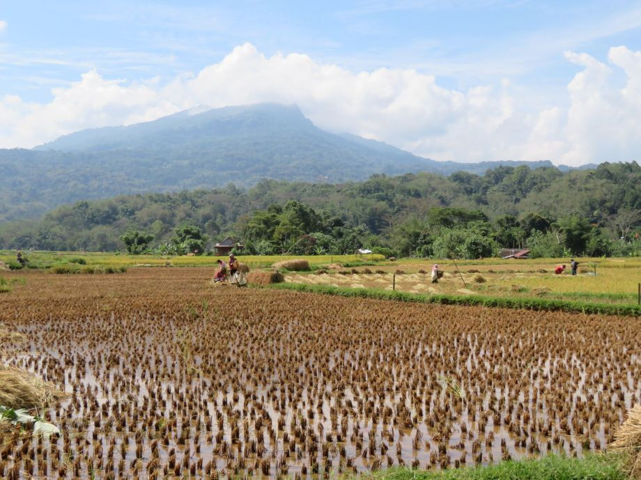 récolte du riz (1)
